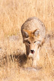 Stalking Coyote Stock Images