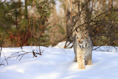 Stalking in the forest. Bobcat walking in forest in snow Royalty Free Stock Image