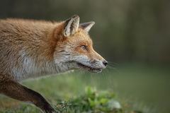 Stalking fox Royalty Free Stock Photos