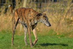 Stalking Galgo Espanol Stock Photo