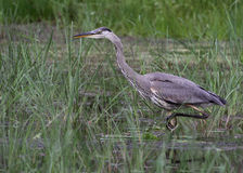 Stalking Great Blue Heron Royalty Free Stock Image
