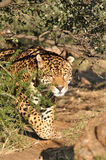 Stalking jaguar. A watchful south american jaguar Stock Photography