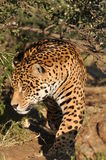 Stalking jaguar Stock Photography