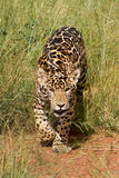 Stalking Jaguar Cub Royalty Free Stock Image