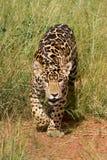 Stalking Jaguar Cub Royalty Free Stock Image