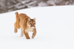 Stalking for the kill. Mountain lion stalking for the kill Stock Photography