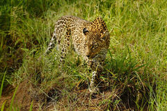 Stalking Leopard. A Stunning female leopard stalking prey on safari in the Sabi Sands Game Reserve in South Africa Royalty Free Stock Photography