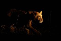 Stalking Lion. Young lioness stalking her prey on a night hunt. Lit with a single spotlight from another tracking vehicle Stock Images