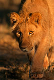 Stalking lion. Stalking African lion (Panthera leo), South Africa Royalty Free Stock Photography