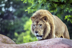 Stalking Lion Royalty Free Stock Photography