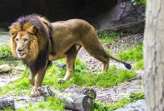 Stalking Lion in Search of Prey. An adult male lion studies potential prey Royalty Free Stock Photos