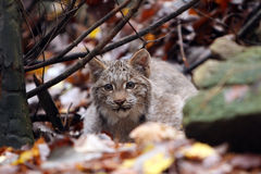 Stalking Lynx. Closeup of a Canada Lynx Kitten against a blurred background Stock Photos