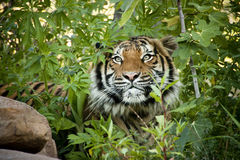Stalking Malayan Tiger peers through the branches Royalty Free Stock Photo