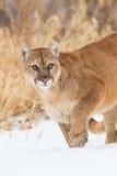 Stalking mountain lion portrait Stock Images