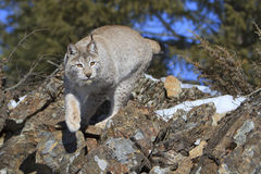 Stalking on prey. A Canadian lynx stalking onto prey royalty free stock images