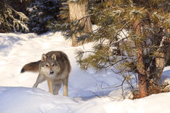Stalking on prey. A timber wolf hunting prey in the forest Royalty Free Stock Images
