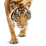 Stalking siberian tiger. Stalking young siberian tiger  on white background Stock Image