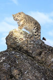 Stalking. Snow leopard stalking up the side of mountain Stock Photography