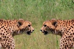 Stalking a stalker Royalty Free Stock Image