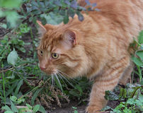Stalking Tabby. A stalking tabby cat on the hunt for prey Royalty Free Stock Image
