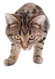 Stalking Tabby Kitten. A stalking tabby kitten on white Stock Images