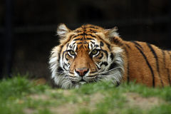 Stalking Tiger. Beautiful Sumatran Tiger stalking it's prey Royalty Free Stock Photos