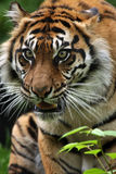 Stalking Tiger. Closeup of a Sumatran Tiger stalking his prey Stock Photos