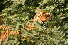 Stalking tiger. A tiger in the woods keeping a close eye on things Royalty Free Stock Image