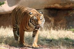 Stalking Tiger. Tiger coming out of some brush Royalty Free Stock Photos