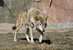 Stalking wolf. Grey wolf (C. Lupus) stalking purposefully in an enclosure Royalty Free Stock Image