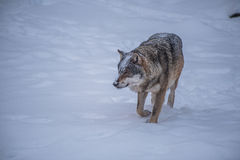 Stalking Wolf Royalty Free Stock Photo
