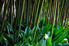 Stalks bamboo. Stalks of bamboo in a botanical garden Royalty Free Stock Photo