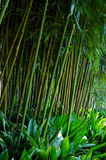 Stalks bamboo Stock Image