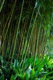 Stalks bamboo. Stalks of bamboo in a botanical garden Stock Image
