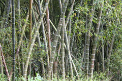 Stalks of bamboo. Royalty Free Stock Image
