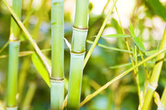 Stalks of bamboo. In bamboo forest Royalty Free Stock Images