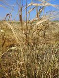 Stalks of barley Stock Photos