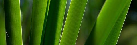 Stalks of calamus swamp on a sunny morning. Banner for design stock image