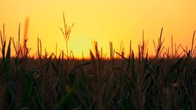 Corn stalks at sunset in the sun. Stalks of corn at sunset in the sun. Video in motion stock footage
