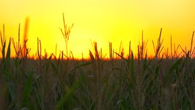 Corn stalks at sunset in the sun. Stalks of corn at sunset in the sun. Video in motion stock video