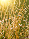 Stalks  dry  grasses Royalty Free Stock Images