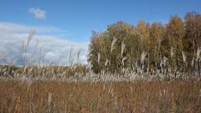 Stalks a feather grass shaking on wind against of the sky and trees in autumn. Siberia, Russia stock footage