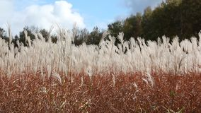 Stalks a feather grass shaking on wind against of the sky and trees stock video footage