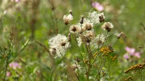 Stalks of field weeds with fluffy seeds stock video footage