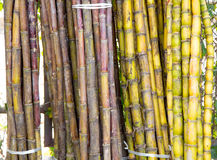 Stalks of fresh sugar cane for extracting the juice Royalty Free Stock Photo