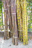 Stalks of fresh sugar cane for extracting the juice Royalty Free Stock Image