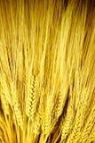 Stalks of Golden Wheat Royalty Free Stock Image