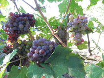 Stalks of grapes under the sun. In autumn Stock Photos