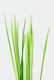 Stalks of grass Royalty Free Stock Image