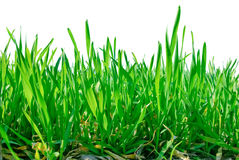Stalks of grass isolated on white background Stock Photography